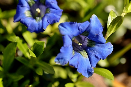 blu: Close-up of blue flowers at garden in spring