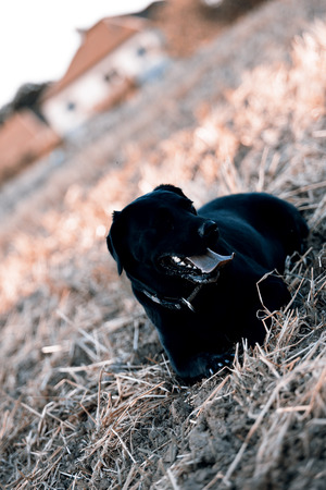 Beautiful black retriever  labrador photo
