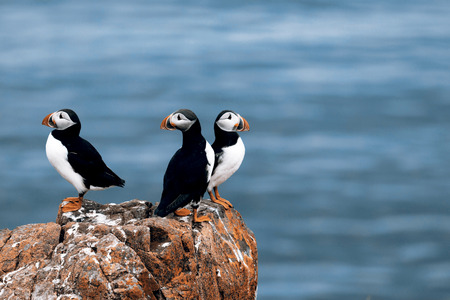 Beautiful puffins from Iceland
