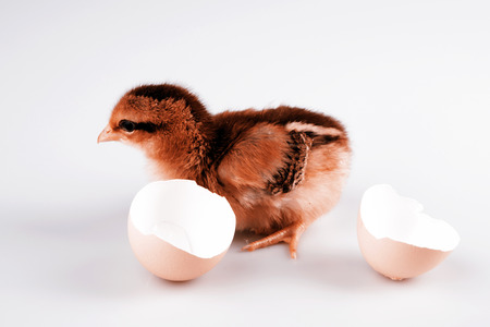 hatched: Cute little brown chicken coming out of a white egg isolated on white