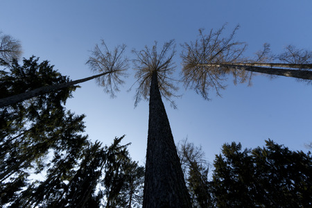 treetops: beautiful treetops from the ground with blue sky