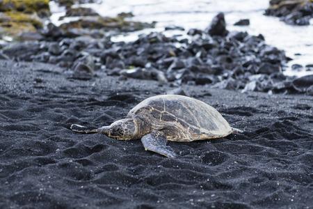 beautiful big turtle lying on black sand - Hawaii island