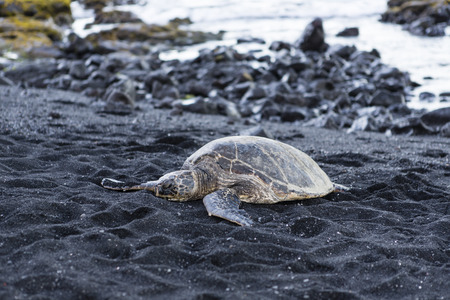 beautiful big turtle lying on black sand - Hawaii island