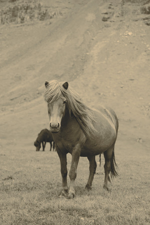 icelandic: Beautiful Icelandic horses Stock Photo