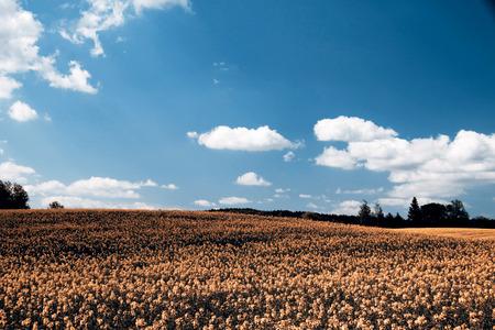rapaseed: Cole field in Czech Republic