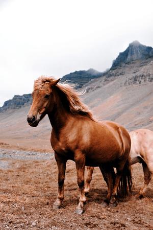 icelandic: Beautiful Icelandic horses Stock Photo