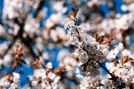 arbre feuille: Flowering appletree - spring, Czech Republic Banque d'images