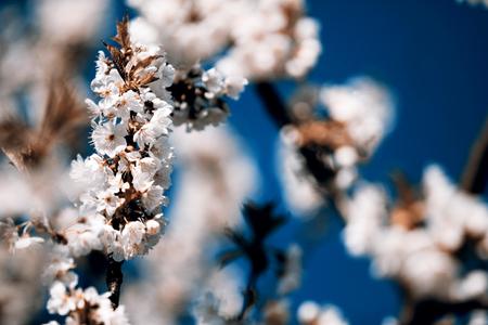 hojas de arbol: manzano de floraci�n - primavera, la Rep�blica Checa Foto de archivo