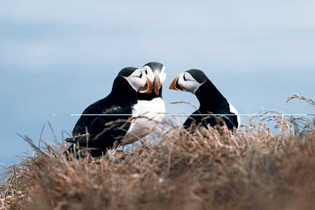 puffins: Beautiful puffins from Iceland