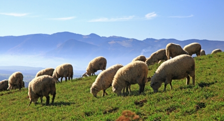 Sheeps on field in region Liptov, Slovakia photo