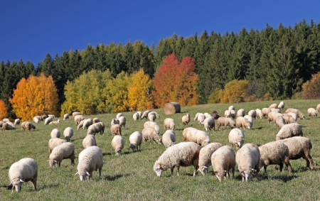 slovak republic: Sheeps on field in region Liptov, Slovakia