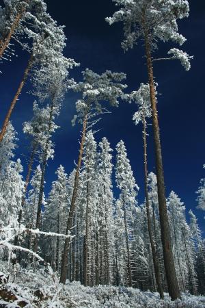 Winter trees  Tatranska Lomnica - High Tatras, Slovakia   Stock Photo - 18002772