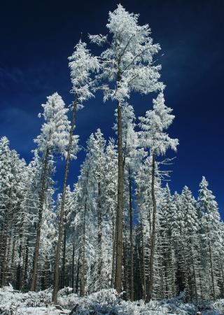 Winter trees  Tatranska Lomnica - High Tatras, Slovakia   Stock Photo - 18002695
