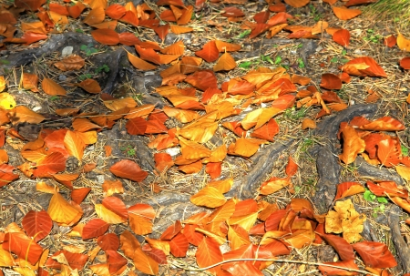 Autumn leaves at the tree photo