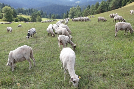 Sheep on pasture in region Liptov, SLovakia photo