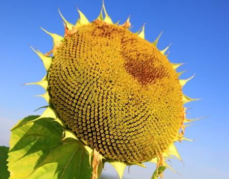 sear: Big sear sunflower Stock Photo