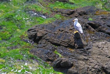 shores: Rocky shores   seagull in Sozopol, Bulgaria