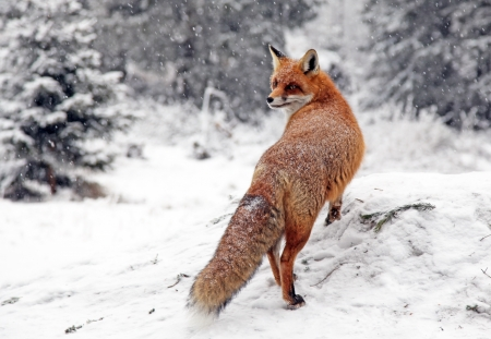 Fox in forest at High Tatras mountains, Slovakia Stock Photo
