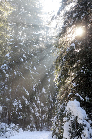 Sunbeams at forest in Low Tatras mountain, Slovakia photo