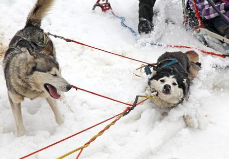 harnessing: Sled dog in High Tatras mountains, Slovakia
