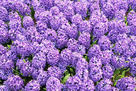 Hyacinth in the pot, The Hague - Netherlands photo