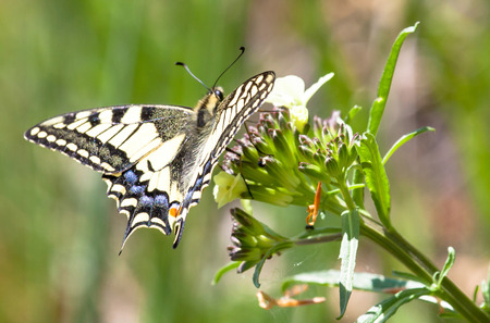 swallowtail: Swallowtail butterfly Stock Photo