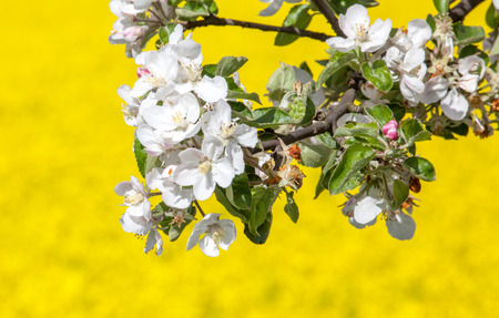 ruzomberok: Cherry blossom and rapeseed field, Slovakia Stock Photo