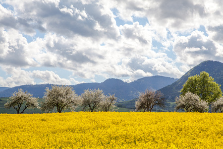 rapaseed: Rapeseed field, Slovakia
