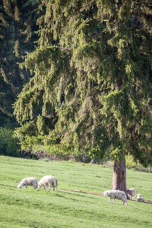 Sheep on pasture, Slovakia photo