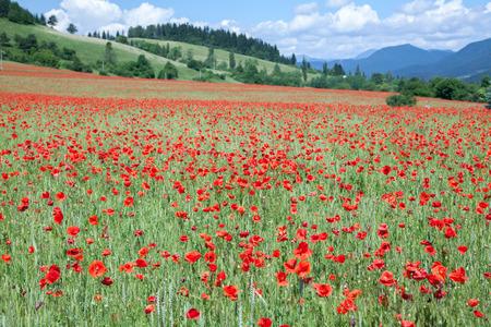 liptov: Field of common poppy, Slovakia Stock Photo