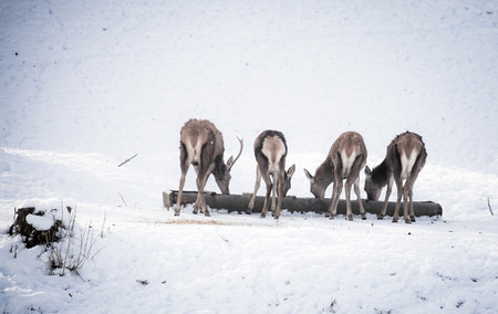 herd of deer: Herd of deer