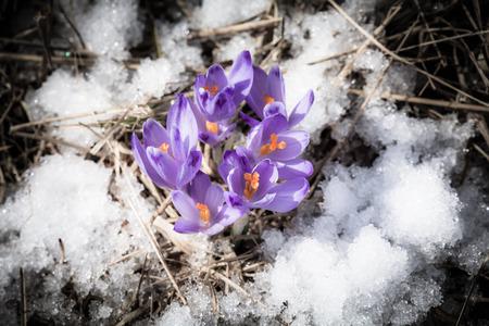 tatras: Violet flower - Crocus - in High Tatras, Slovakia