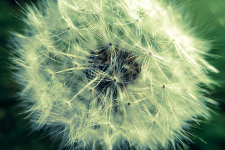 alergy: Dandelion