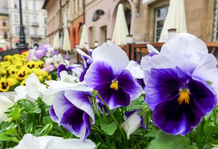 krakow: Flowers in Pot at Krakow, Poland