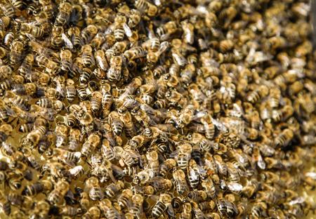 bee swarm: Bee swarm