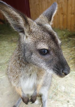 zoologico: peque�o canguro Foto de archivo