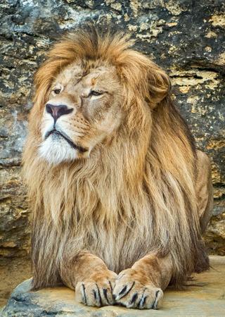 zoologico: Posando le�n en el zool�gico