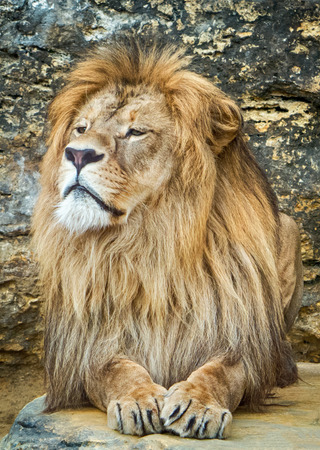 manes: Posing lion in zoo Stock Photo