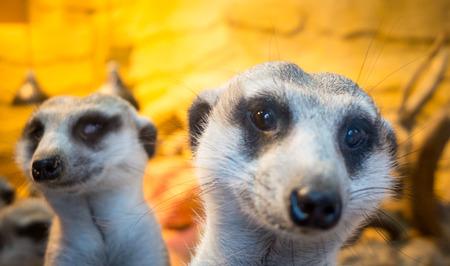 at meerkat: Meerkat in zoo Stock Photo