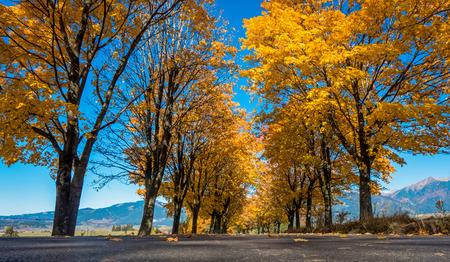 tress: Autumn tress near road