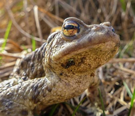 bufo toad: Common toad - Bufo Bufo - macro