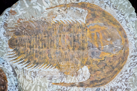 fossil: Fossil of trilobite - detail view