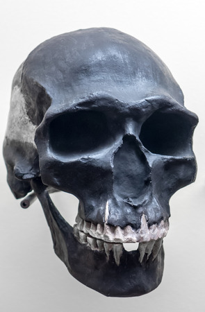 neanderthal: Skull of neanderthal - close up view