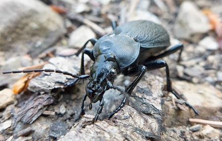 ground beetle: Black coloured ground beetle - Carabus variolosus