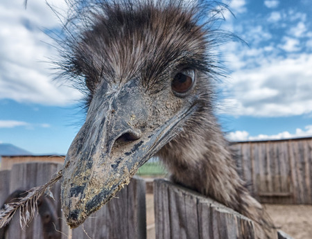 prying: Curious young Ostrich in Zoo, SLovakia Stock Photo