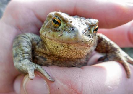 bufo toad: Frog - Toad - Bufo Bufo Stock Photo