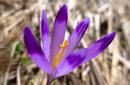 alergy: Detail of crocus on meadow