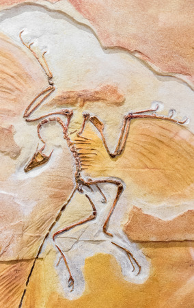Old fossil - archeopteryx - close up view