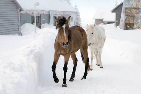 white winter: Black and white horses in winter farm Stock Photo