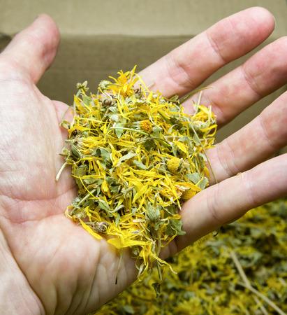 German chamomile - dried tea in hand Stock Photo